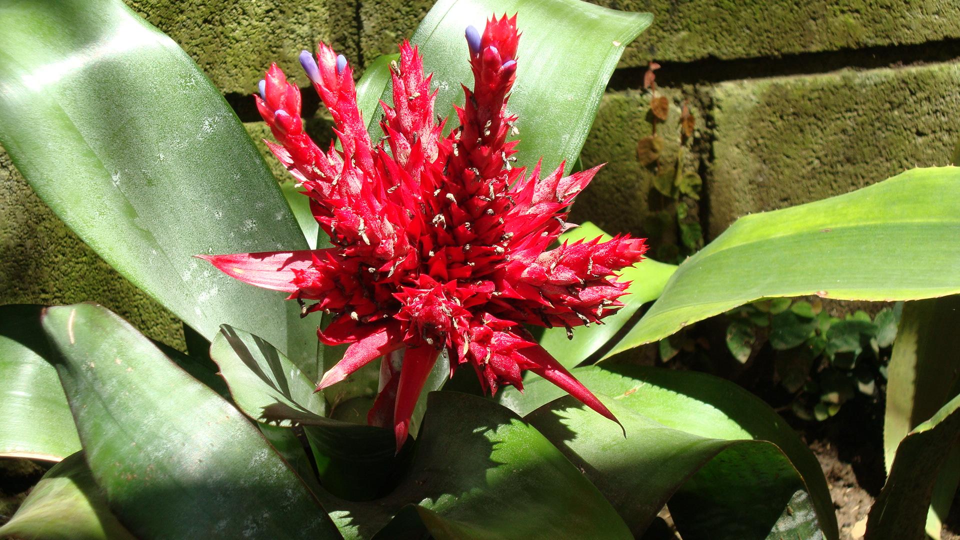Bromelia Florecida