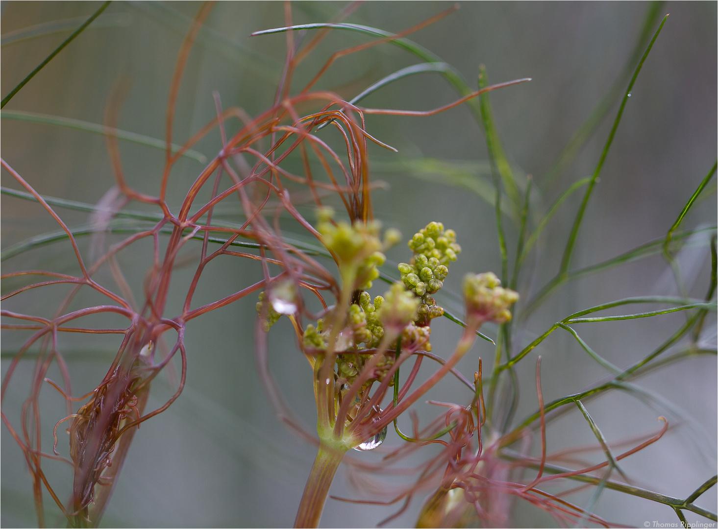 Bronzefenchel (Foeniculum vulgare Purpureum).