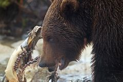 Brown Bear feeds on Elk