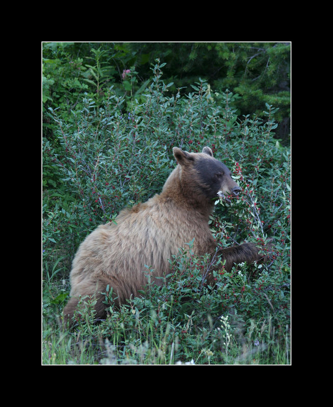 Brown Black Bear