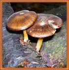 Brown Capped Fungi