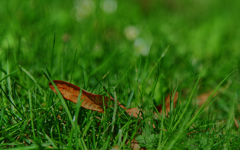 Brown leaf in the grass HDR