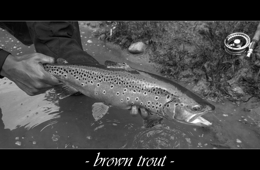 brown trout pt.II