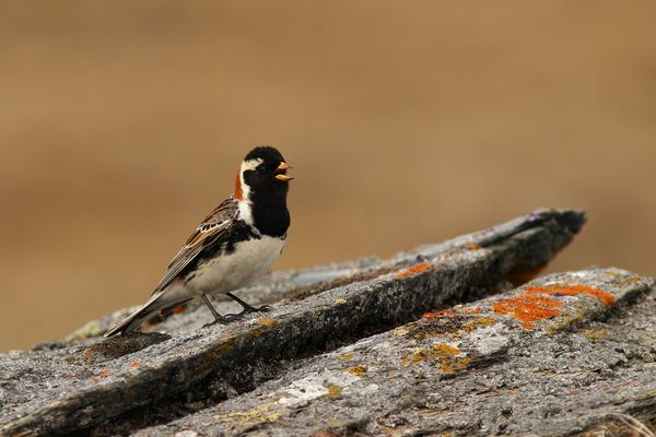 Bruant Lapon en plumage nuptial