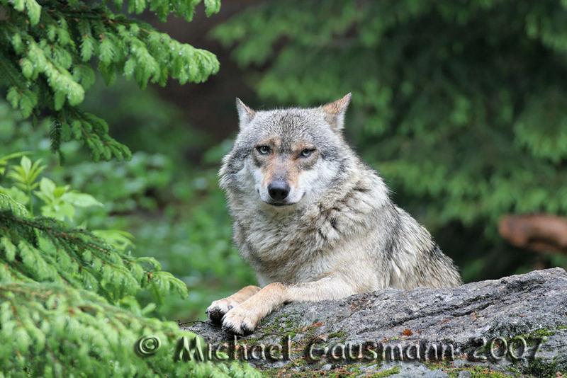 Bruder Wolf