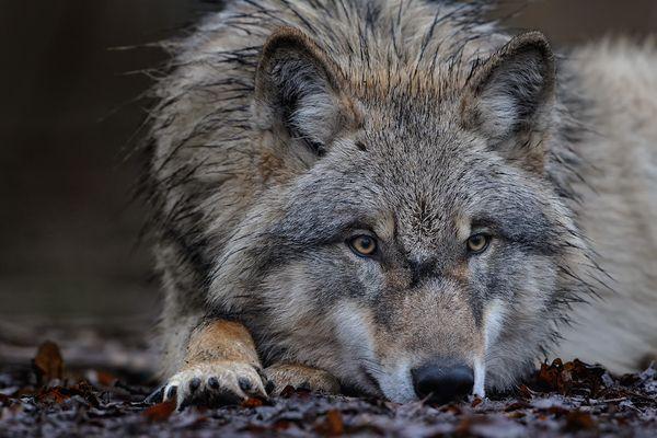 Bruder Wolf denkt nach