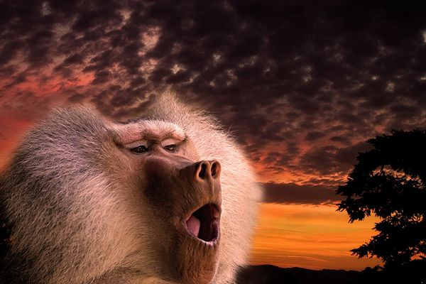 Brüllender Affe