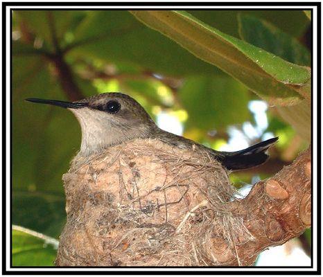 Brütender dominikanischer Kolibri