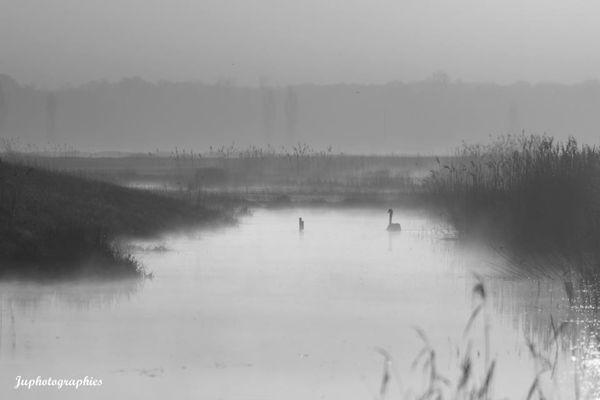 brume matinale, cygne, noir et blanc