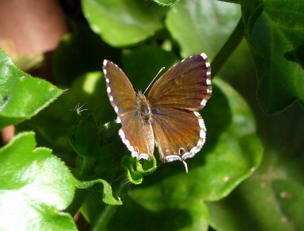 Brun des pelargoniums