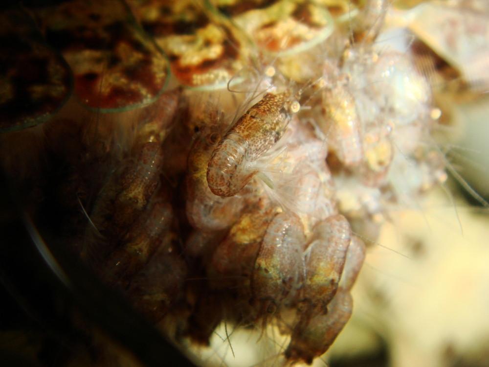 Brut vom Marmorkrebs
