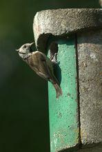 Brutvögel in meinem Garten VIII Die Haubenmeise