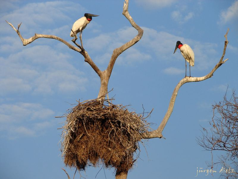 Brutzeit im Pantanal..