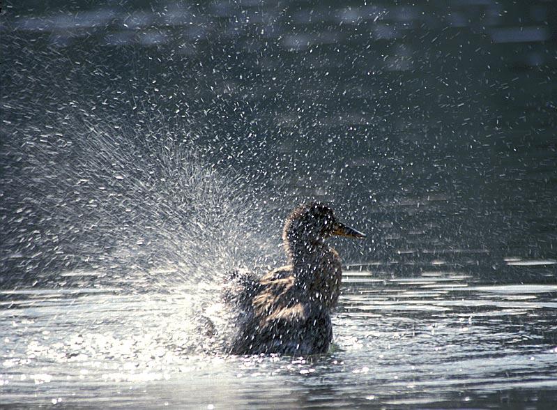 BSE nun auch auf Enten übertragbar?