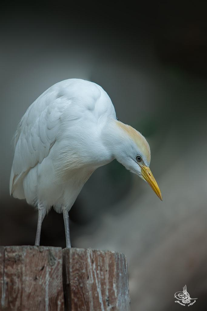 (Bubulcus ibis)