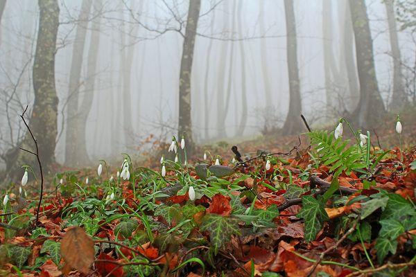 Bucaneve nella nebbia