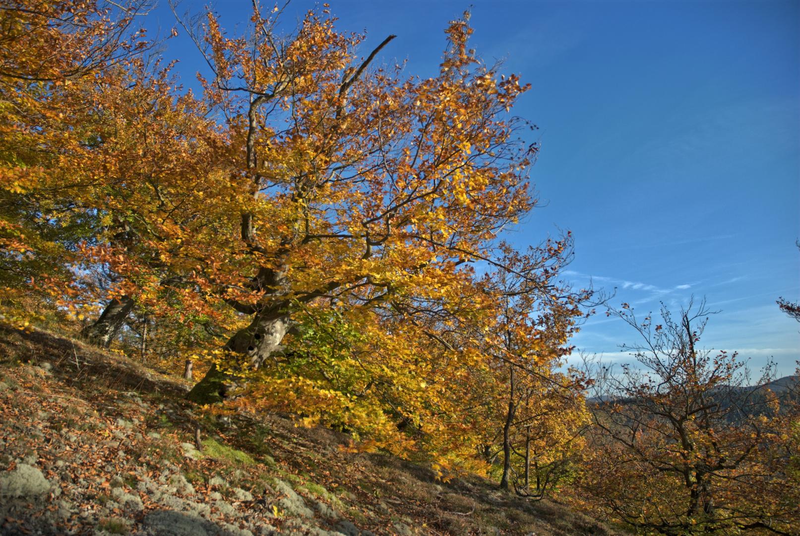 Buche im Habichtswald am Edersee