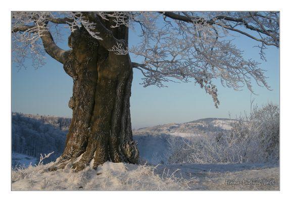 Buche im Winter