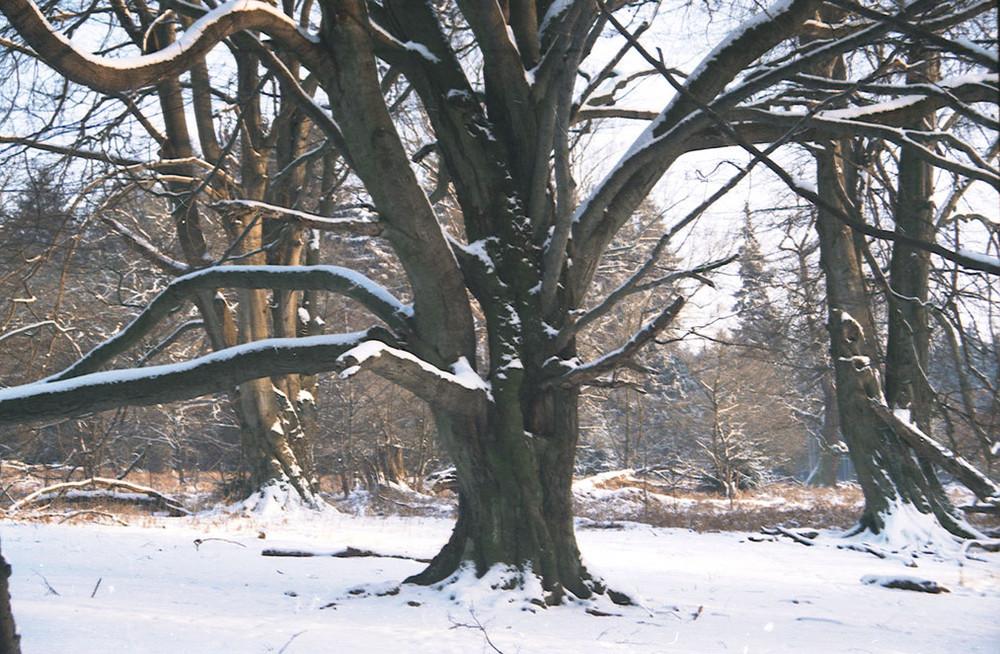 buche im winter sababurger urwald foto bild pflanzen pilze flechten b ume einzelb ume. Black Bedroom Furniture Sets. Home Design Ideas