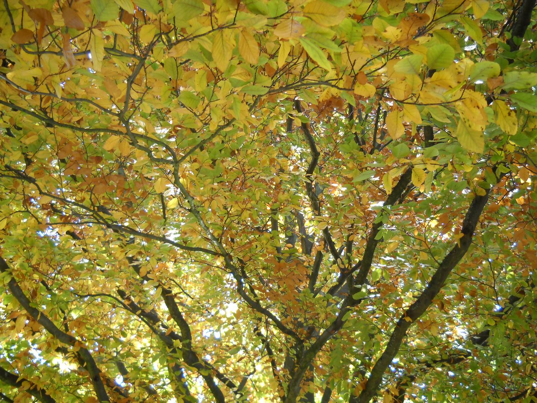 Buche mit Herbstlaub