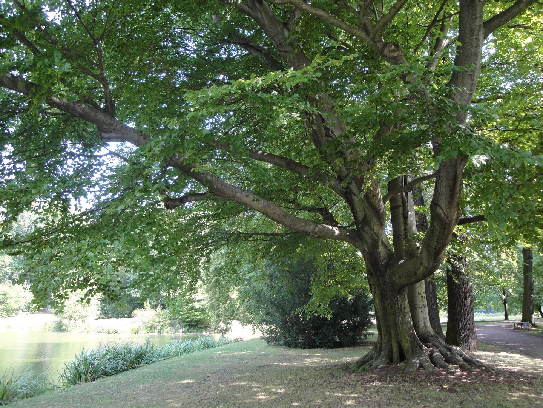 Buche Stadtpark Gotha 2