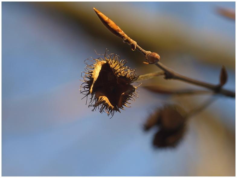 Bucheckern im Winter