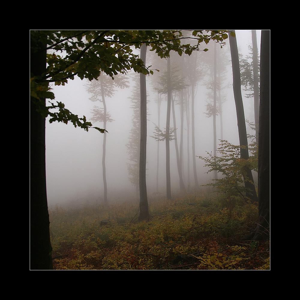Buchen im Nebel