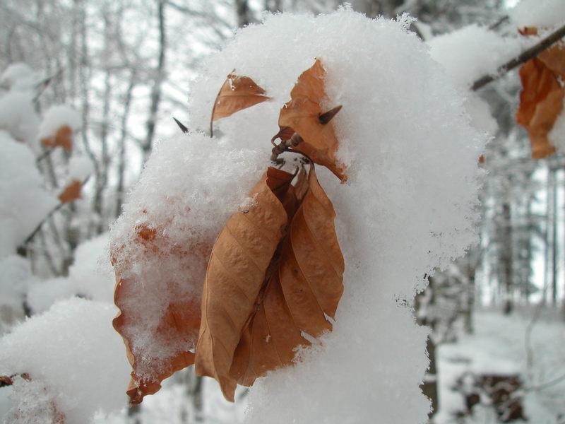 Buchenblatt im Schnee