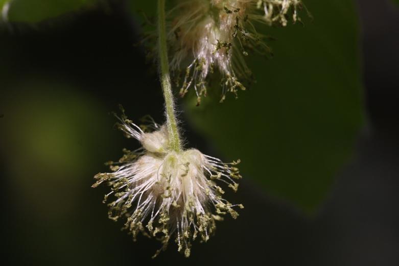 Buchenblüte