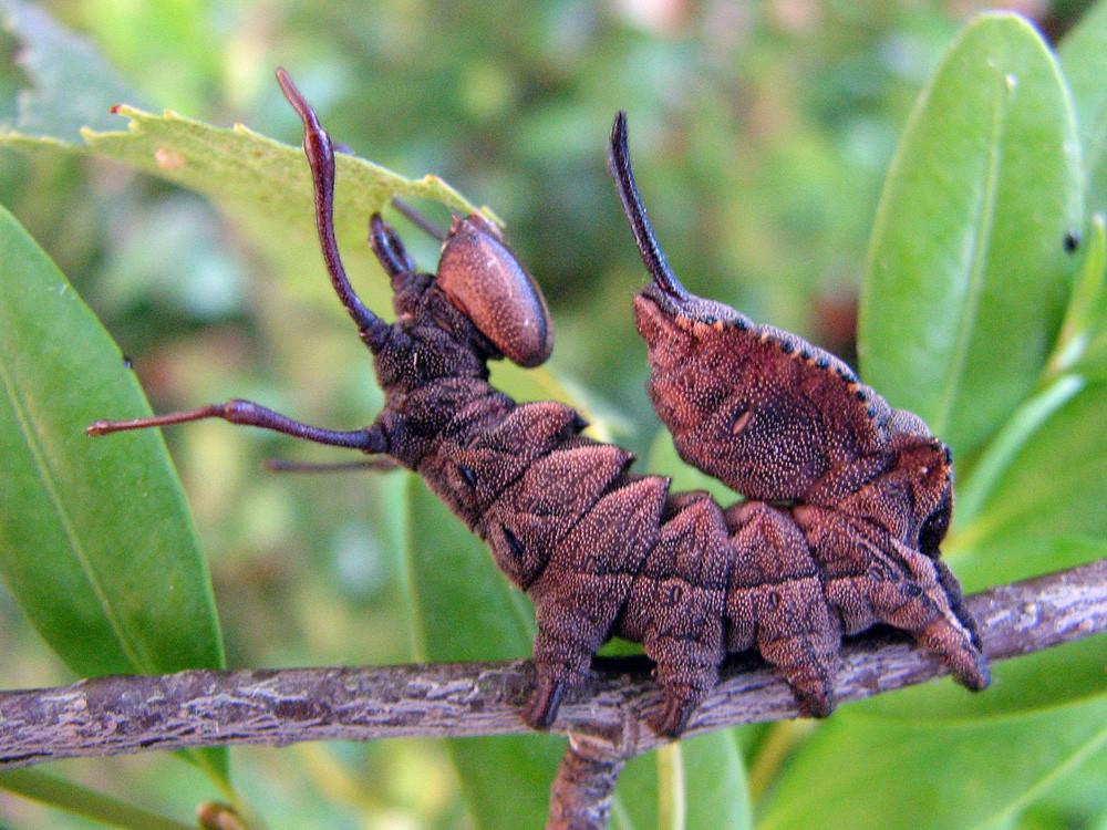 Buchenspinner-Raupe (Stauropus fagi)