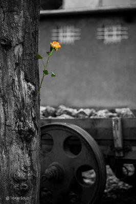 Buchenwald 8