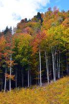 Buchenwald im Herbst II