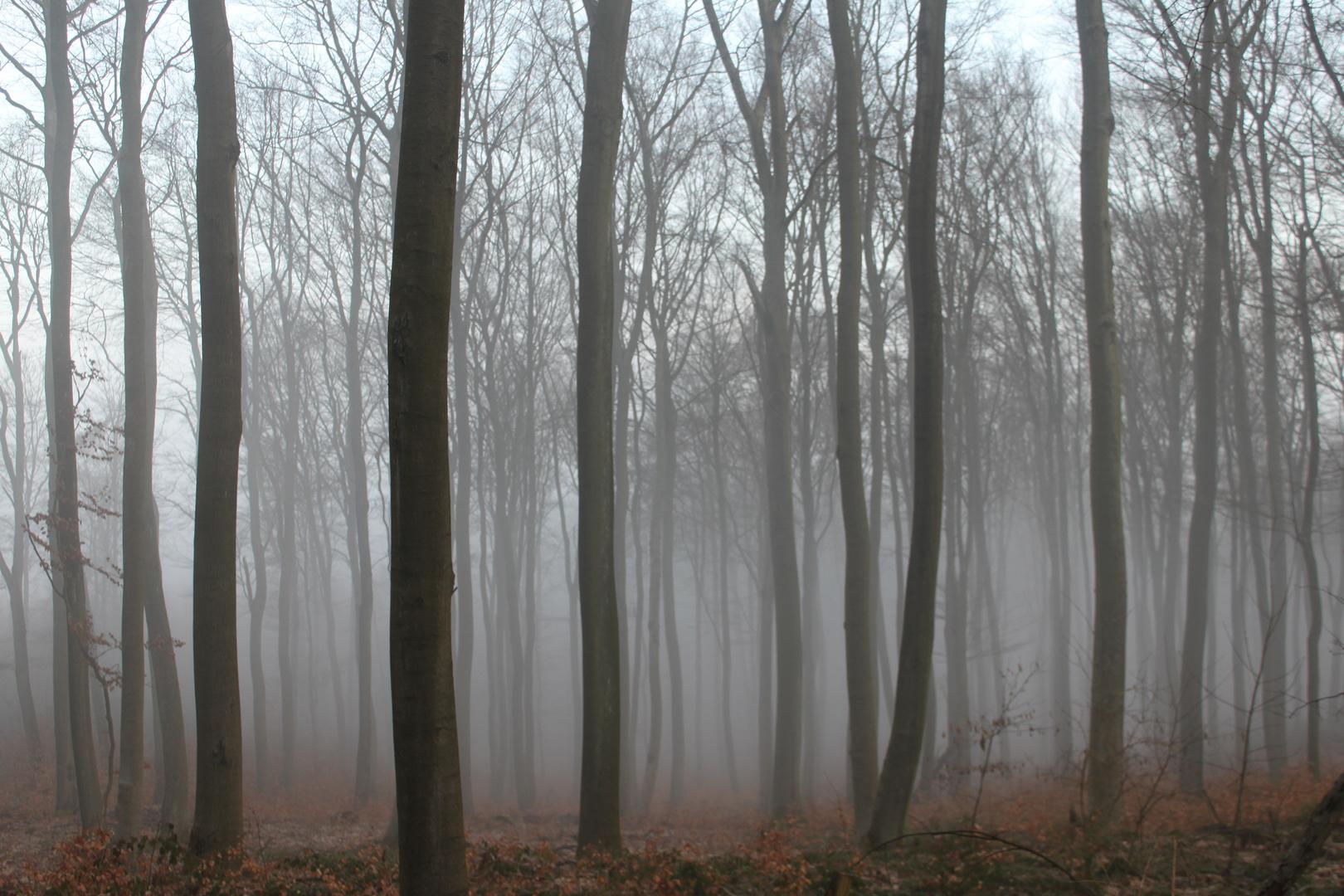 Buchenwald im Morgendunst
