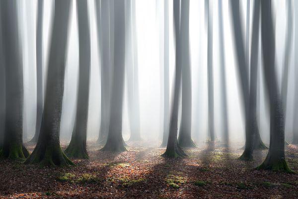 Buchenwald im Morgennebel 1