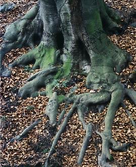 Buchenwurzel von Herbstlaub umgeben