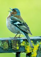 Buchfink am Singen
