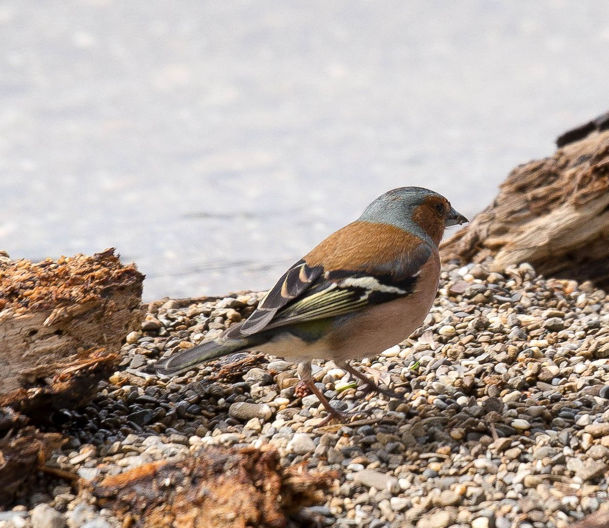Buchfink am Strand