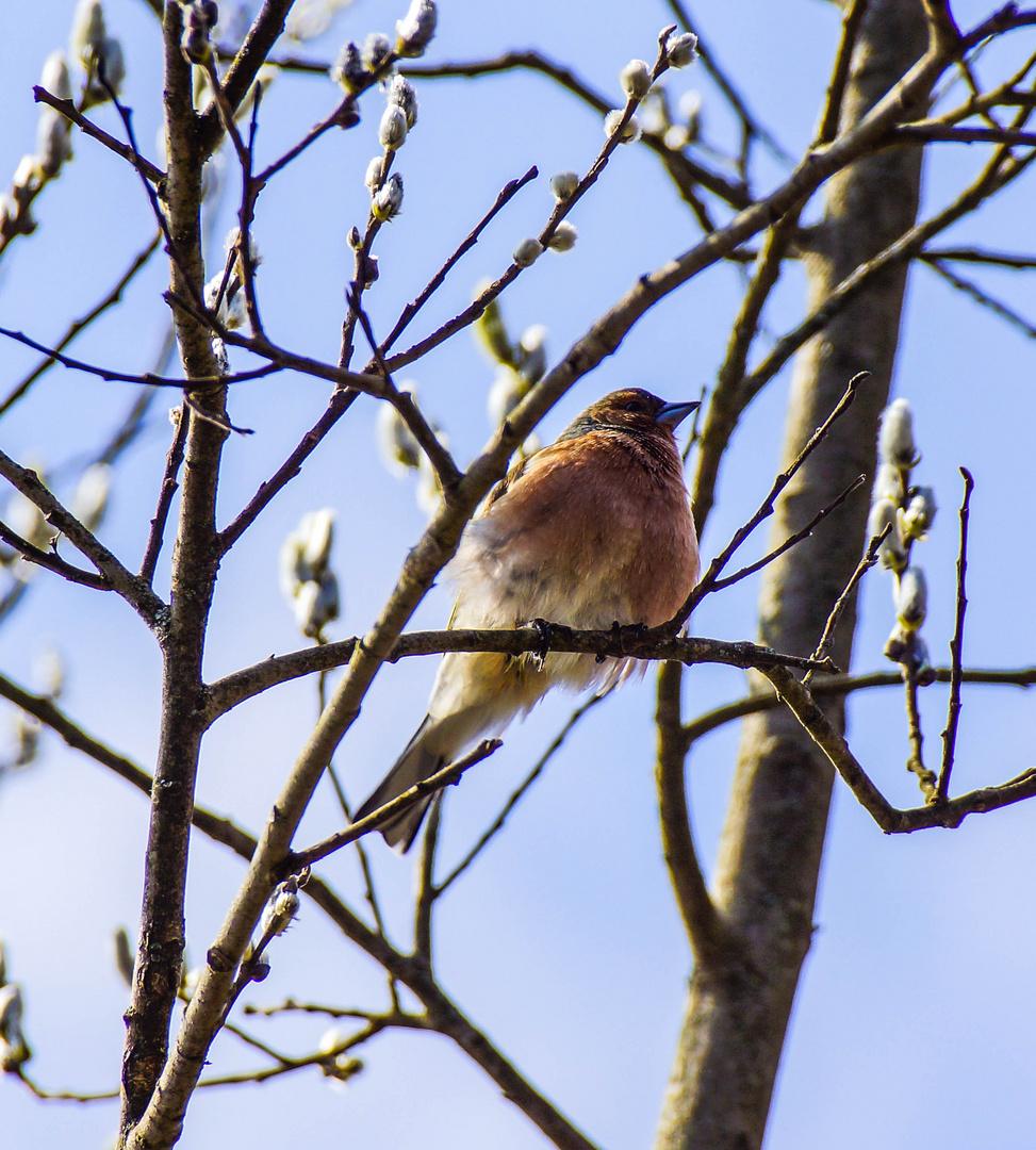 Buchfink im aufblühenden Weidenbaum