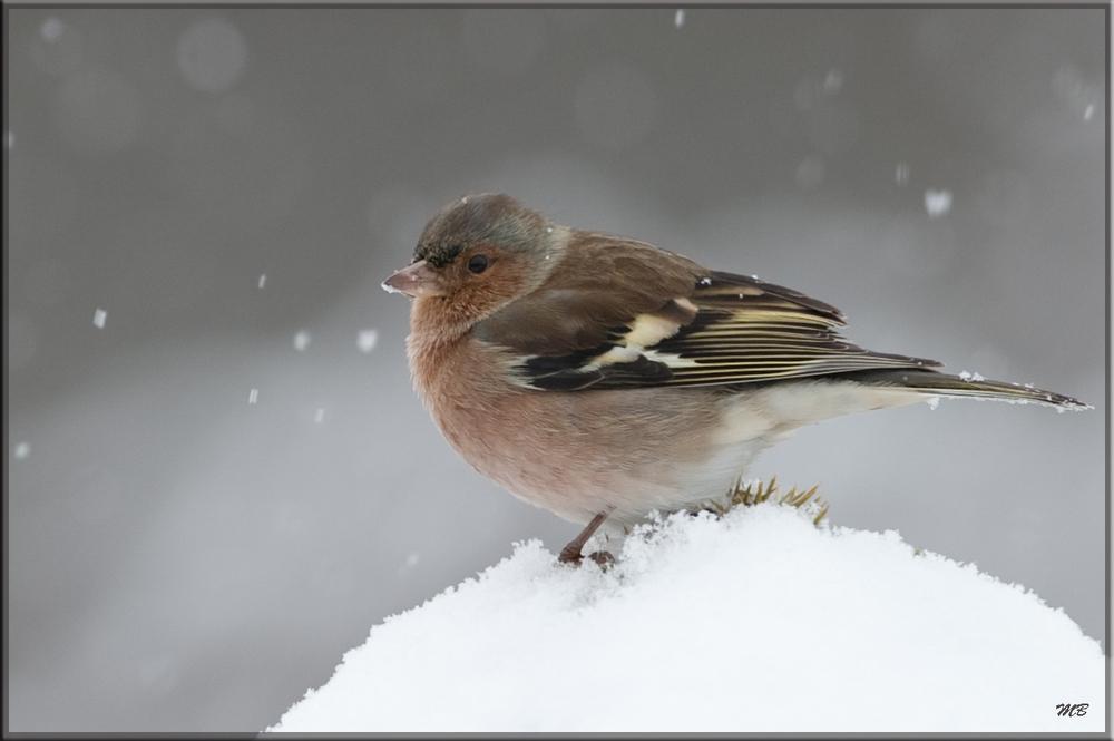 Buchfink im Schneegestöber...