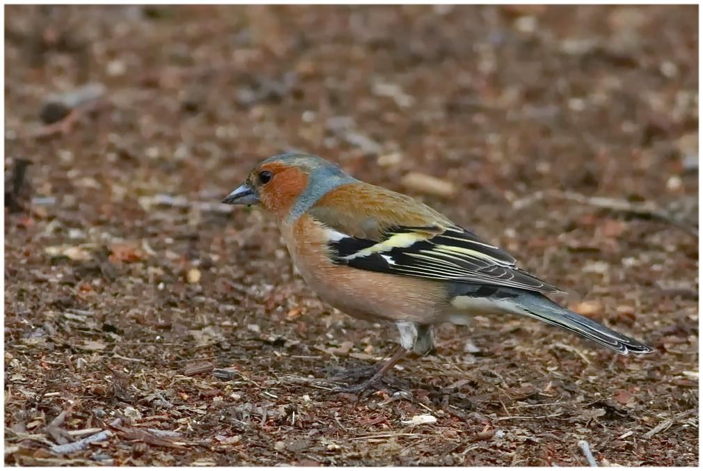 Buchfink [Männchen] - auf dem Waldweg