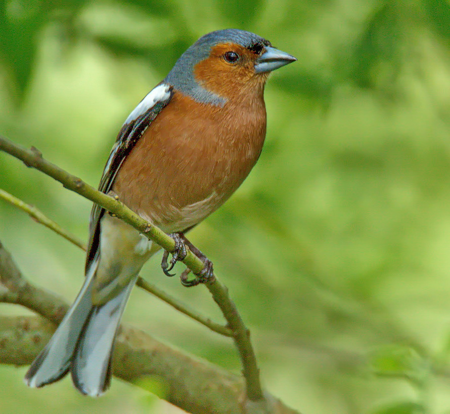 Buchfink-Männchen