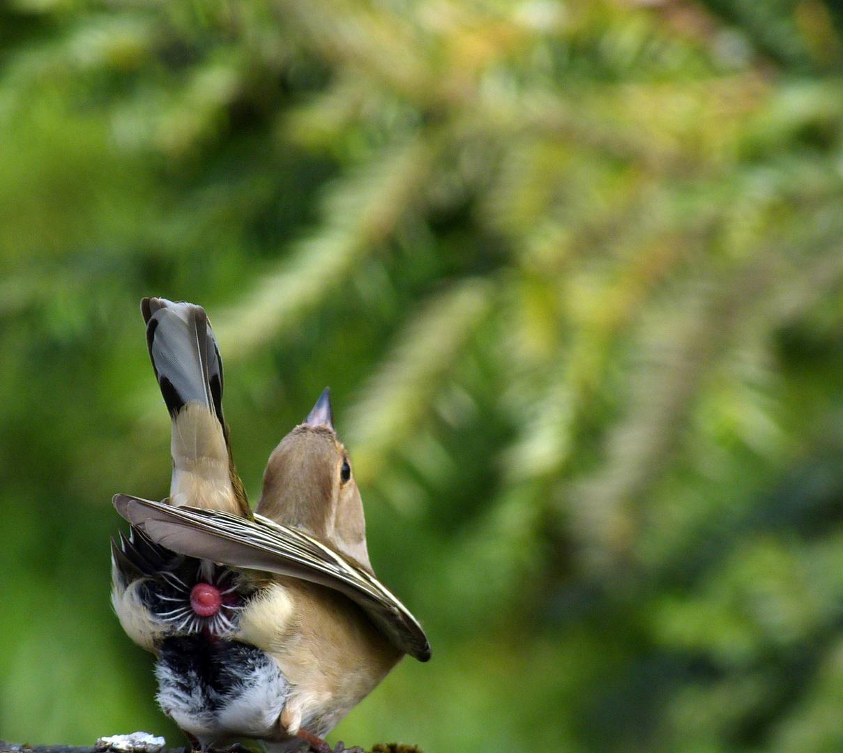 Buchfink mit Blümchen ;-)