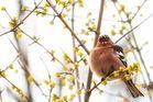 Buchfink zwitschert im Sonnenlicht sein Frühlingslied
