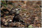 Buchfinkweibchen am Waldboden