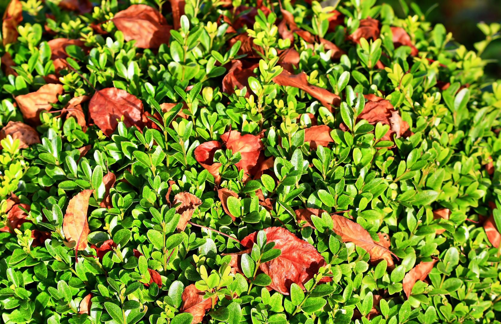 Buchs im Herbst