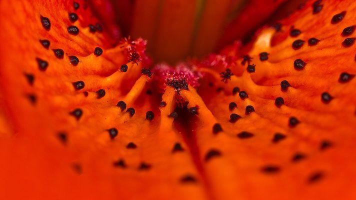 Buckelpiste oder Lilie?