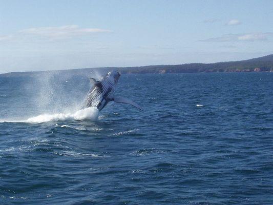 Buckelwal beim Springen