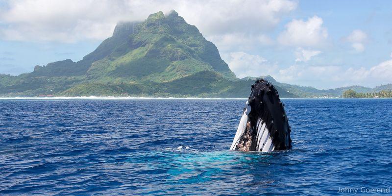 Buckelwal vor Bora Bora