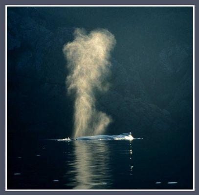 Buckelwal vor der Küste bei Trinity (Neufundland, Kanada)