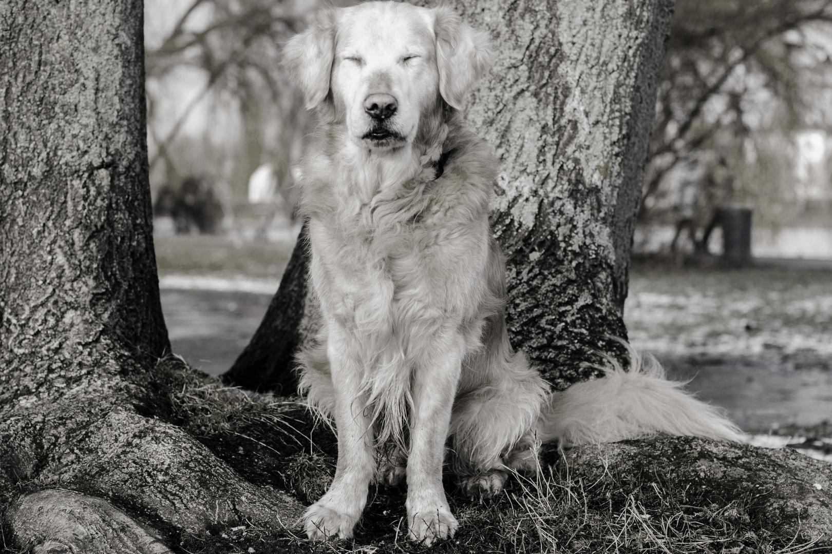Buddha-Hund